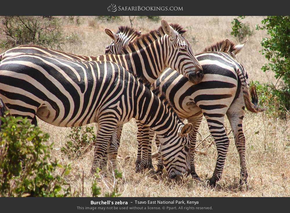 Burchell's zebra in Tsavo East National Park, Kenya