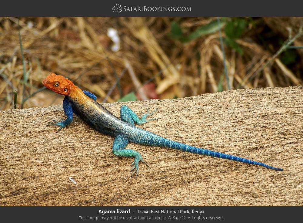 Agama lizard in Tsavo East National Park, Kenya