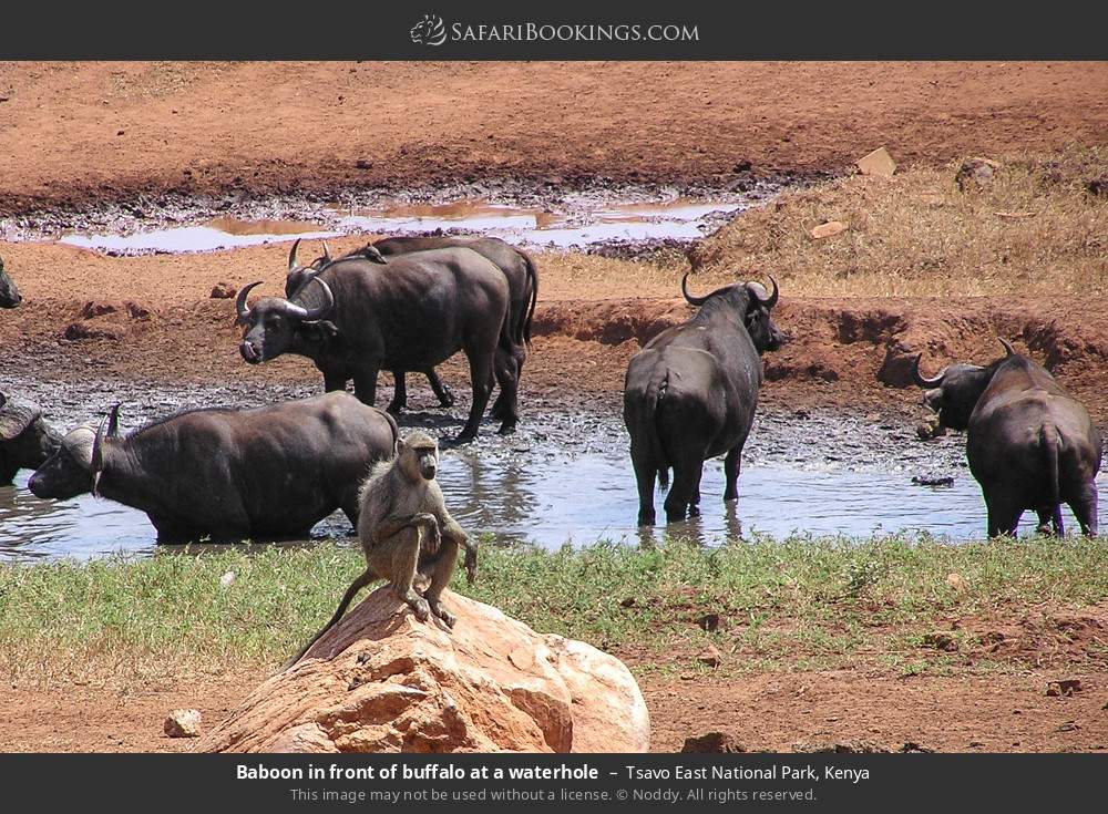 Baboon in front of buffalo at a waterhole in Tsavo East National Park, Kenya