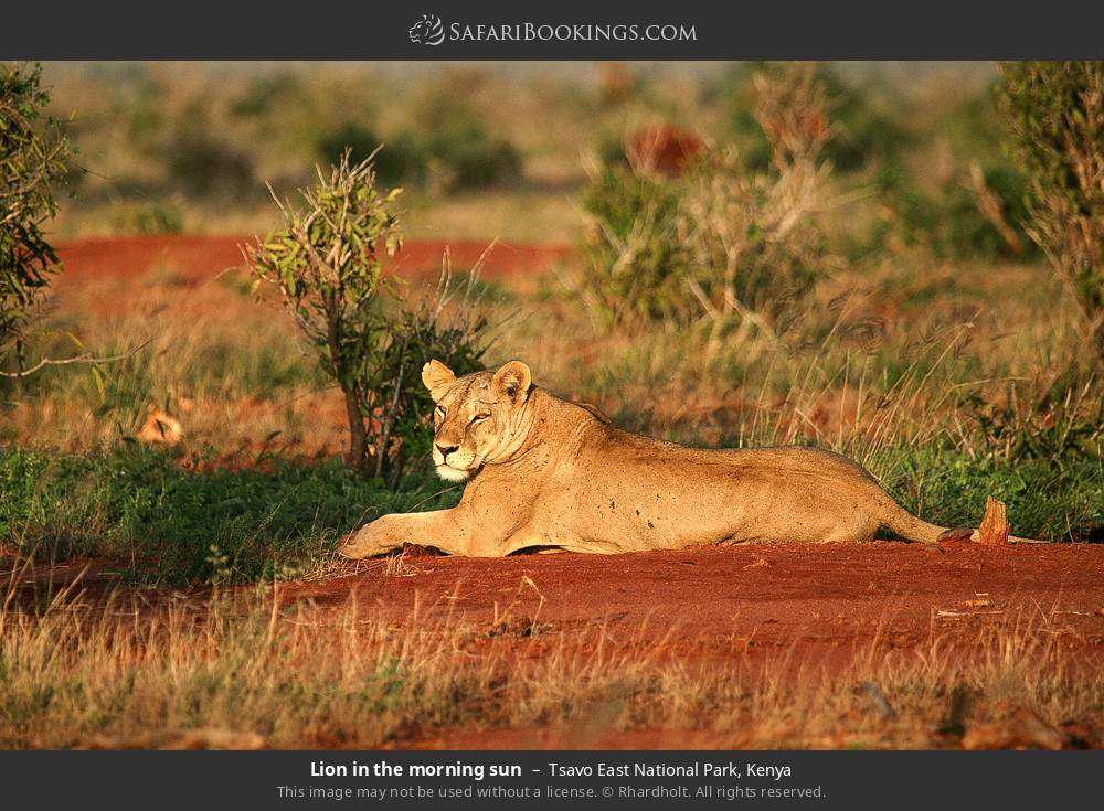 Lion in the morning sun in Tsavo East National Park, Kenya