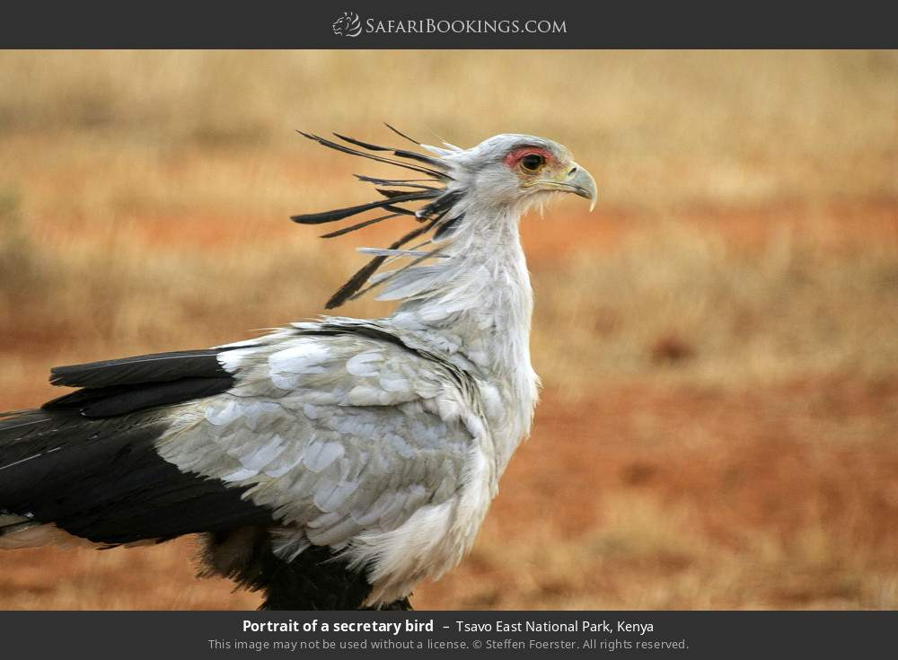 Portrait of a secretary bird in Tsavo East National Park, Kenya