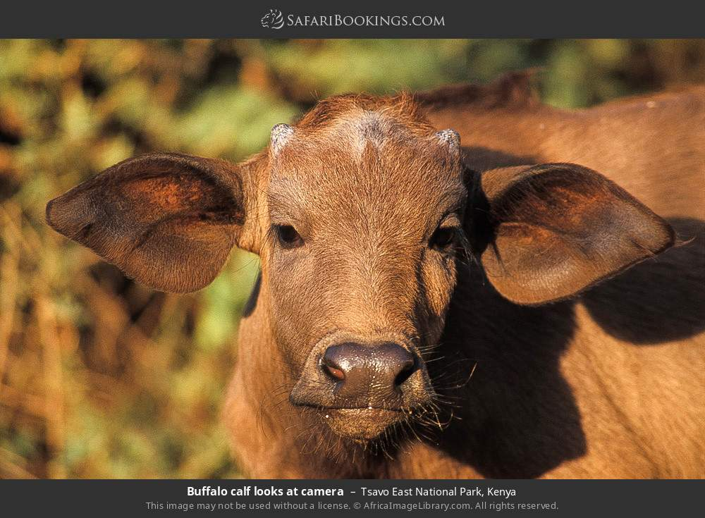 Buffalo calf looks at camera in Tsavo East National Park, Kenya