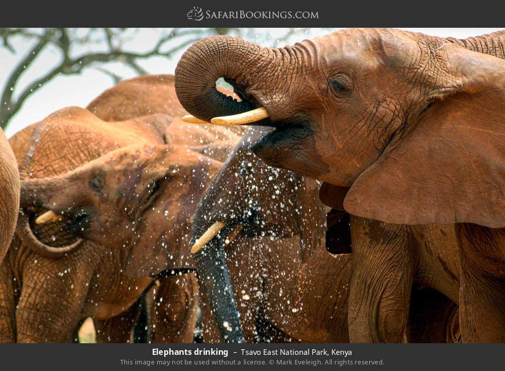 Elephants drinking in Tsavo East National Park, Kenya