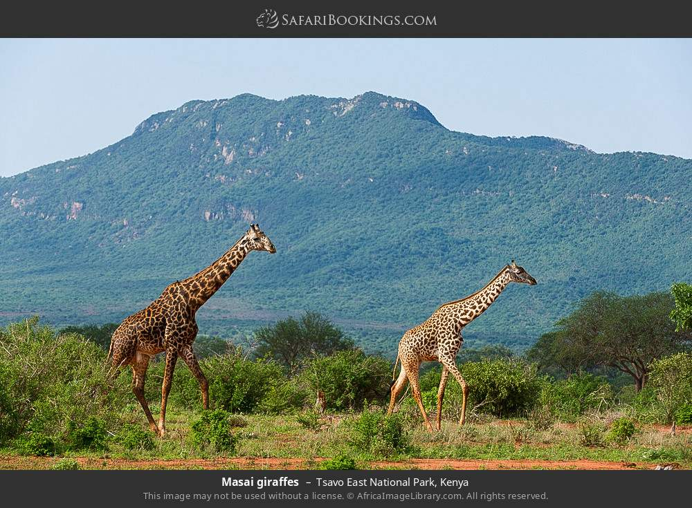 Maasai giraffes in Tsavo East National Park, Kenya