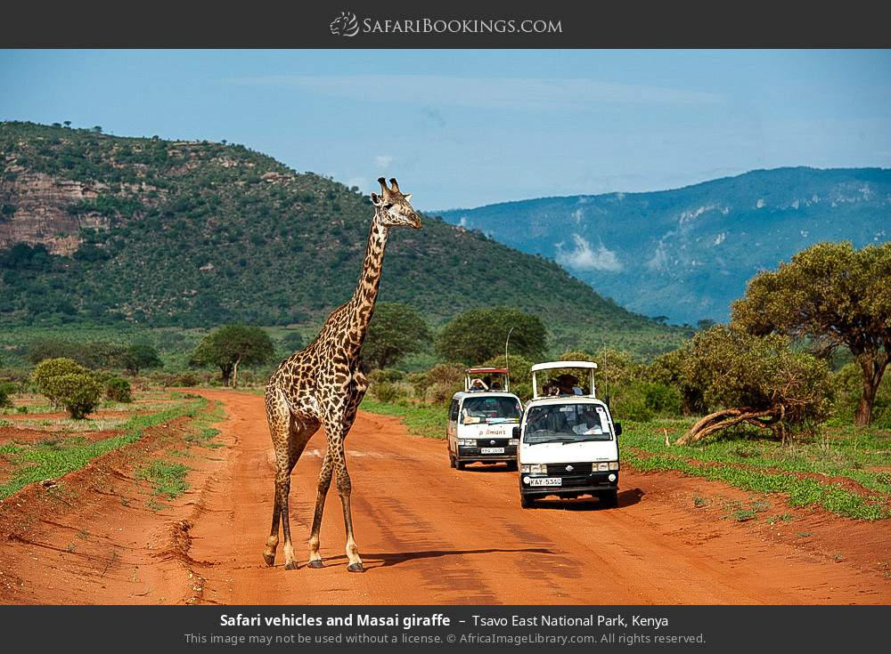 Game viewing vehicles and Maasai giraffe in Tsavo East National Park, Kenya