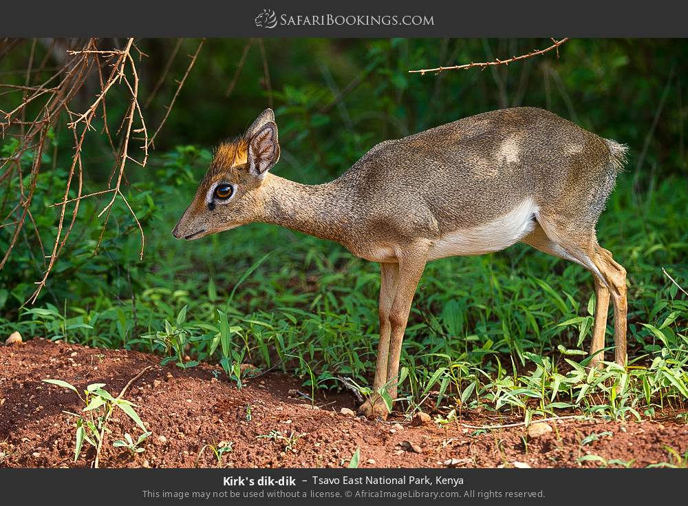 Kirk's dik-dik in Tsavo East National Park, Kenya