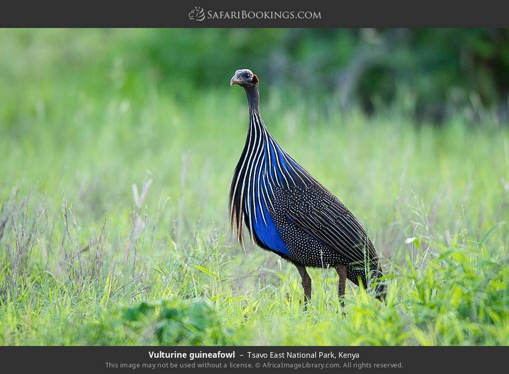Vulturine guineafowl in Tsavo East National Park, Kenya