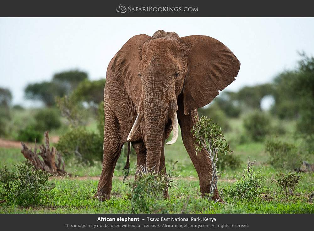 African elephant in Tsavo East National Park, Kenya