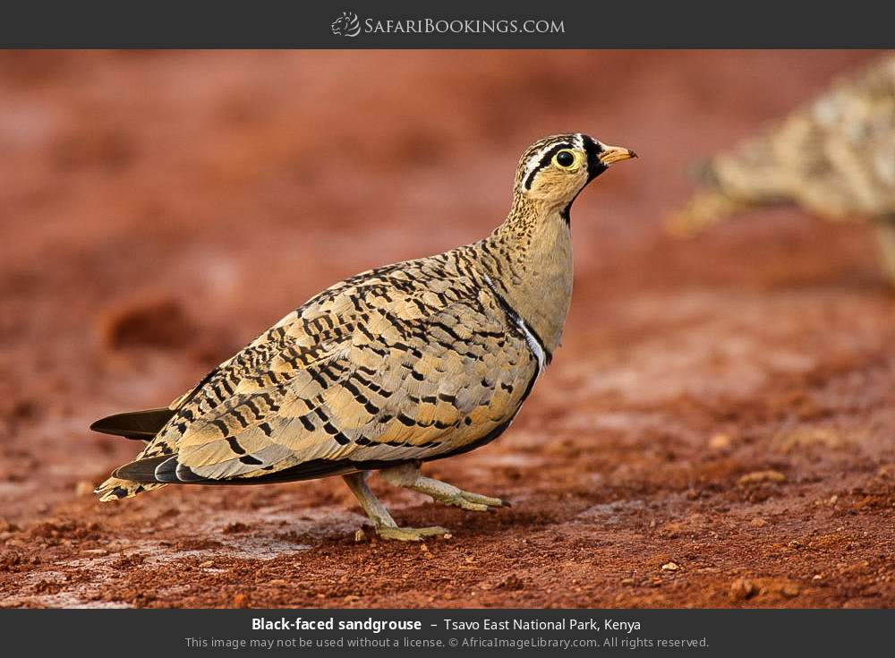 Black-faced sandgrouse in Tsavo East National Park, Kenya