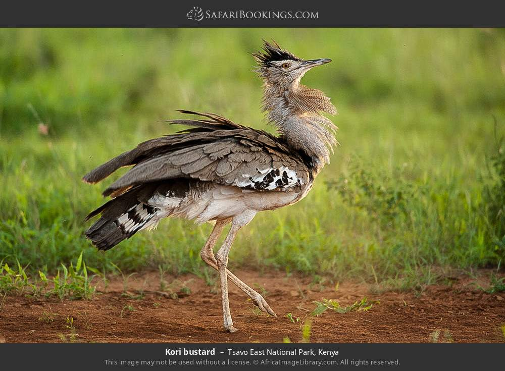 Kori bustard in Tsavo East National Park, Kenya