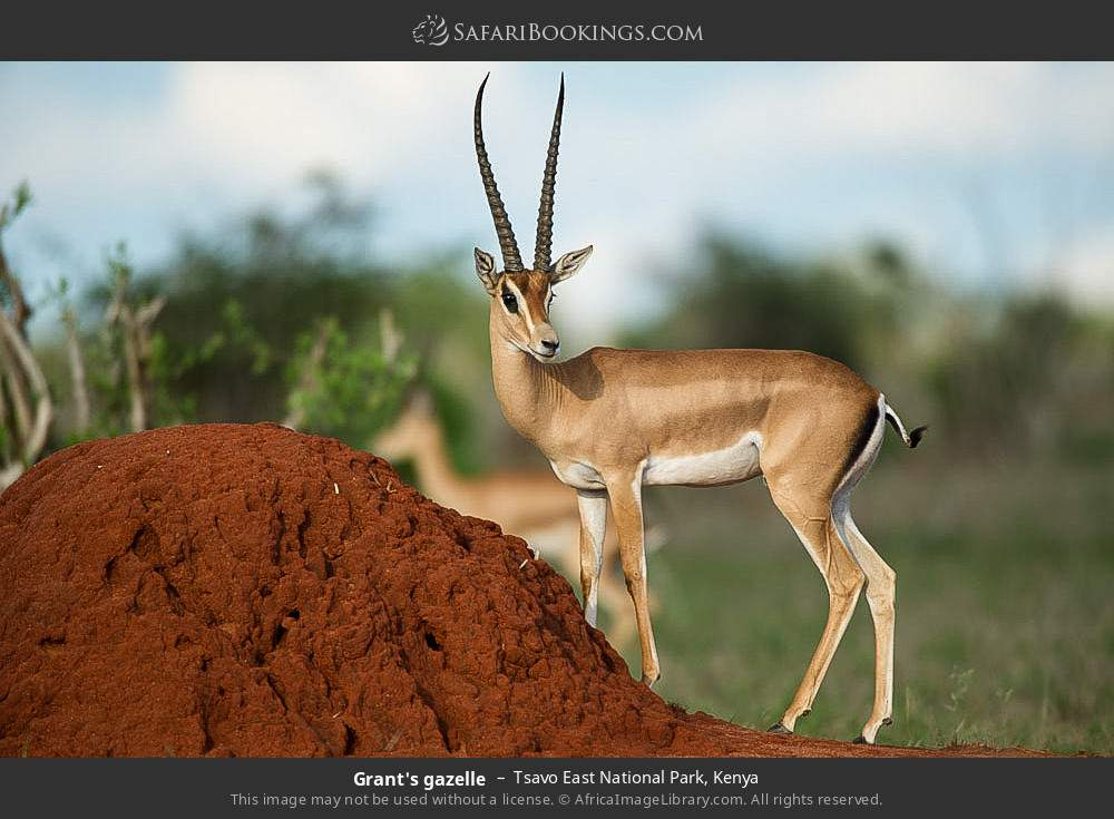 Grant's gazelle in Tsavo East National Park, Kenya