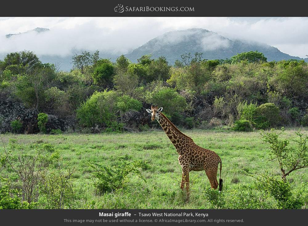 Maasai giraffe in Tsavo West National Park, Kenya