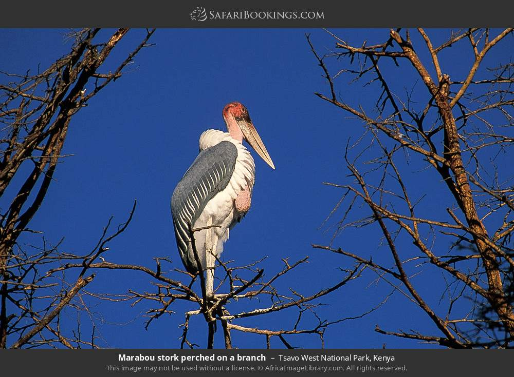 Marabou stork perched on a branch. in Tsavo West National Park, Kenya