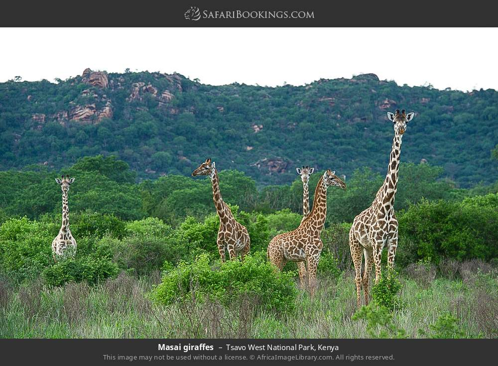 Maasai giraffes in Tsavo West National Park, Kenya