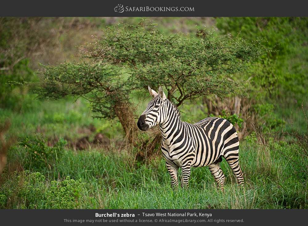 Burchell's zebra in Tsavo West National Park, Kenya