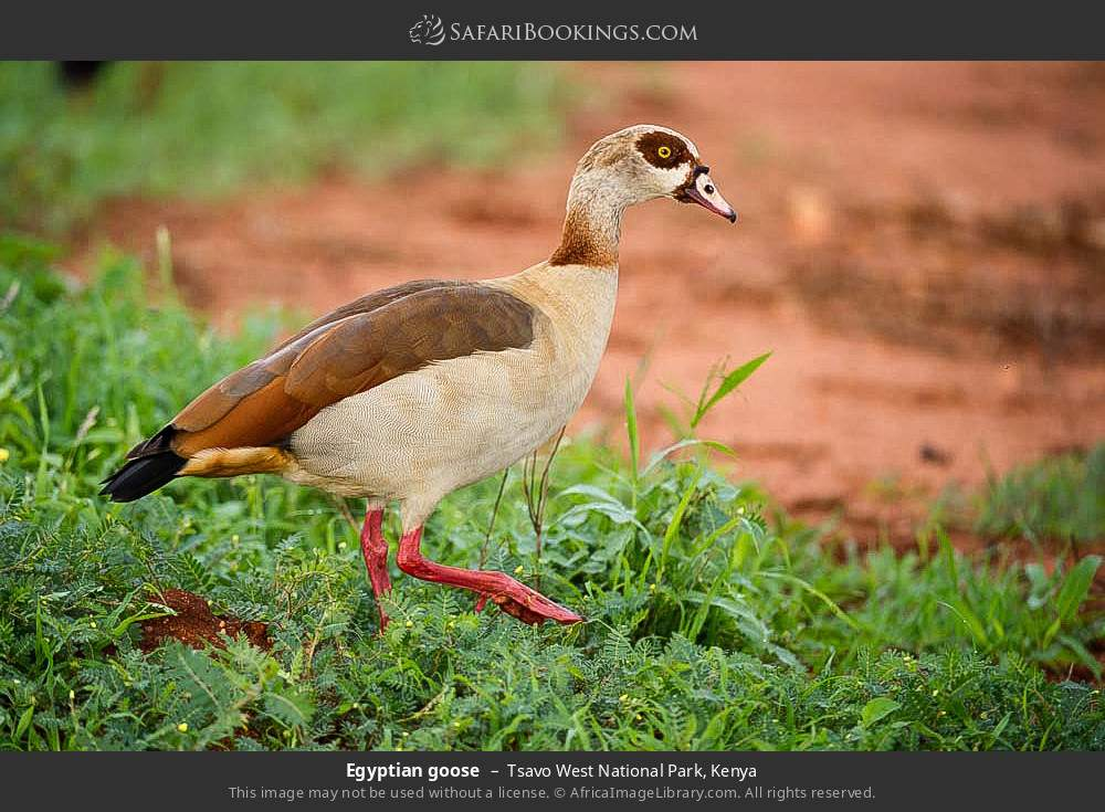 Egyptian goose in Tsavo West National Park, Kenya