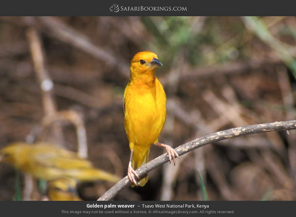 Golden palm weaver in Tsavo West National Park, Kenya
