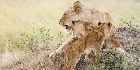 7-Day Mara , L Naivasha, L Nakuru and Amboseli /Tour Van