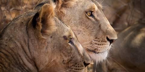 Roaring Kenya - Mid-Range