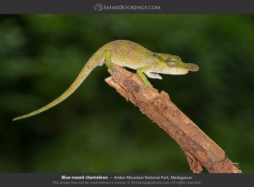 Blue-nosed chameleon in Amber Mountain National Park, Madagascar