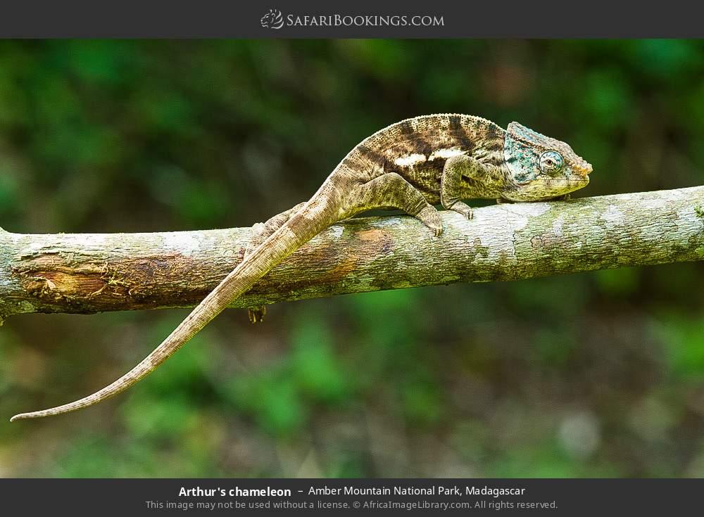Arthur's chameleon in Amber Mountain National Park, Madagascar