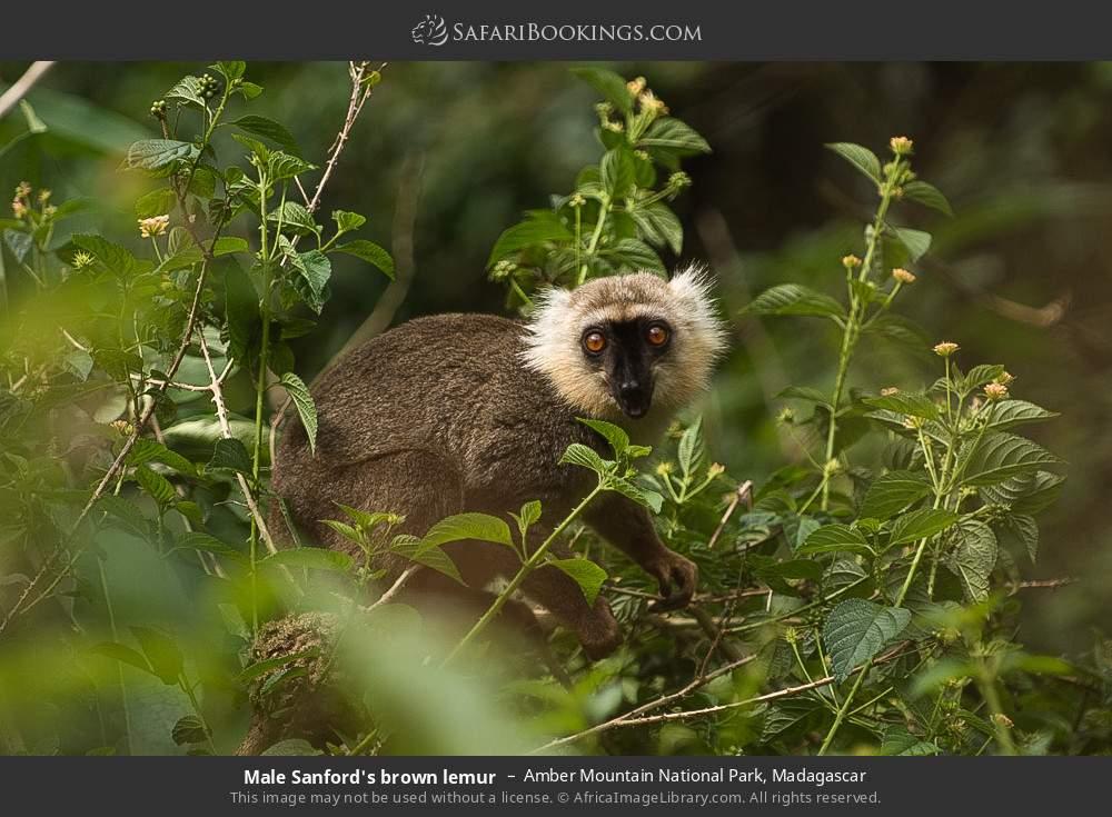 Male Sanford's brown lemur in Amber Mountain National Park, Madagascar