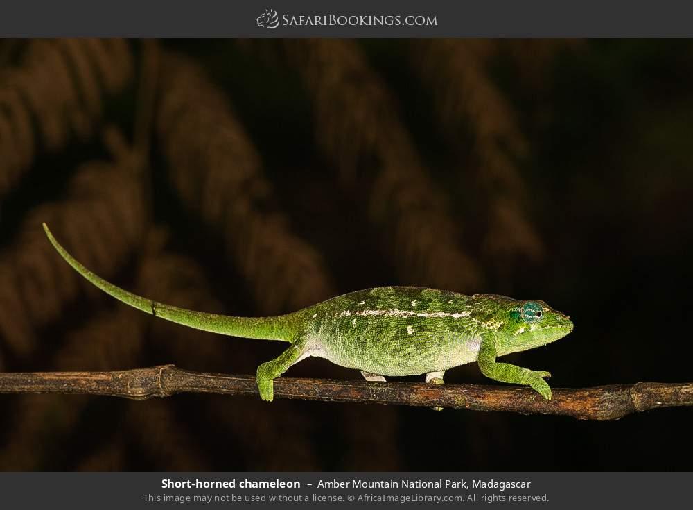 Short-horned chameleon in Amber Mountain National Park, Madagascar