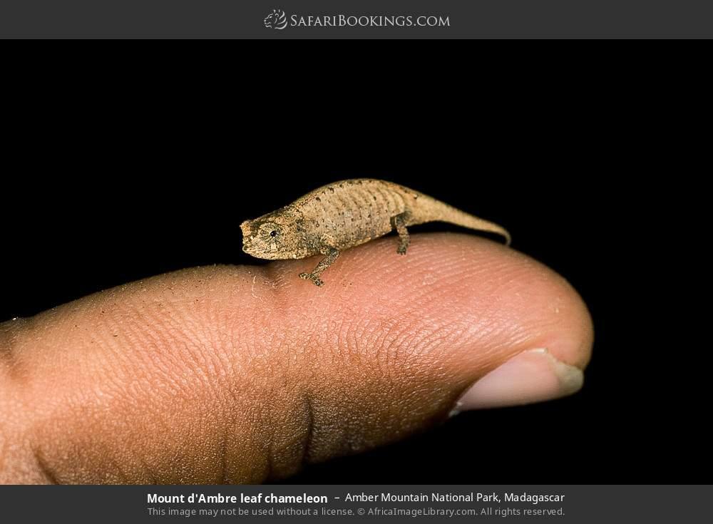Mount d'Ambre leaf chameleon in Amber Mountain National Park, Madagascar