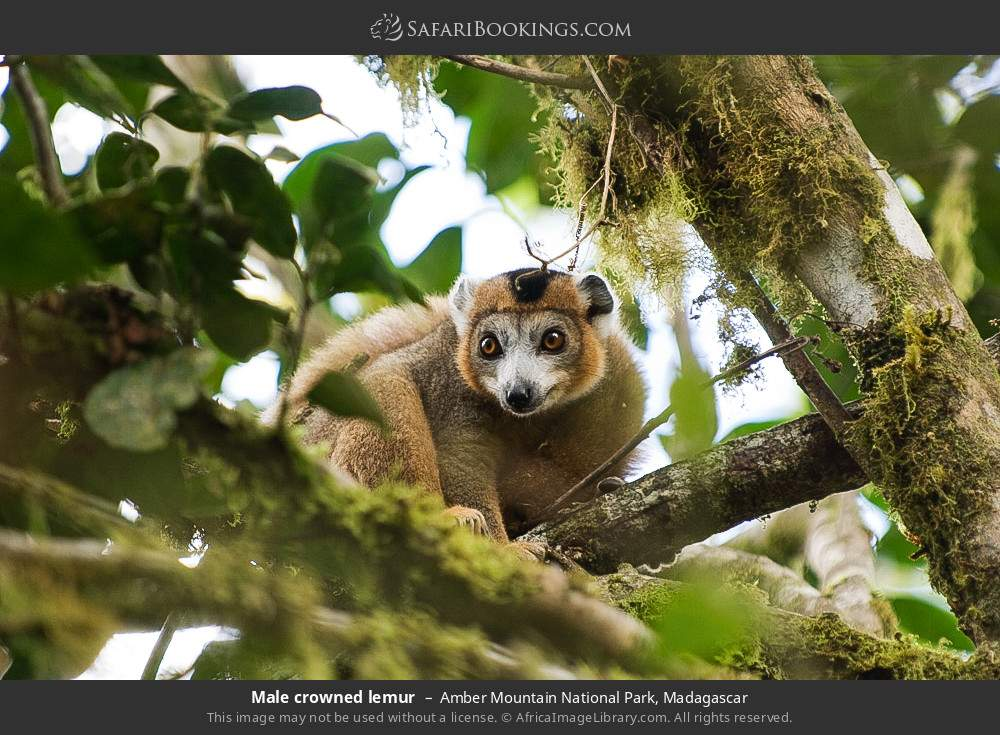 Male crowned lemur in Amber Mountain National Park, Madagascar
