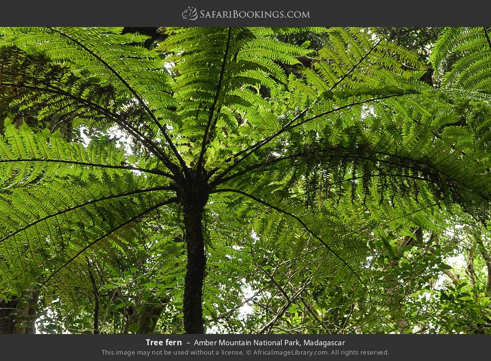 Tree fern in Amber Mountain National Park, Madagascar