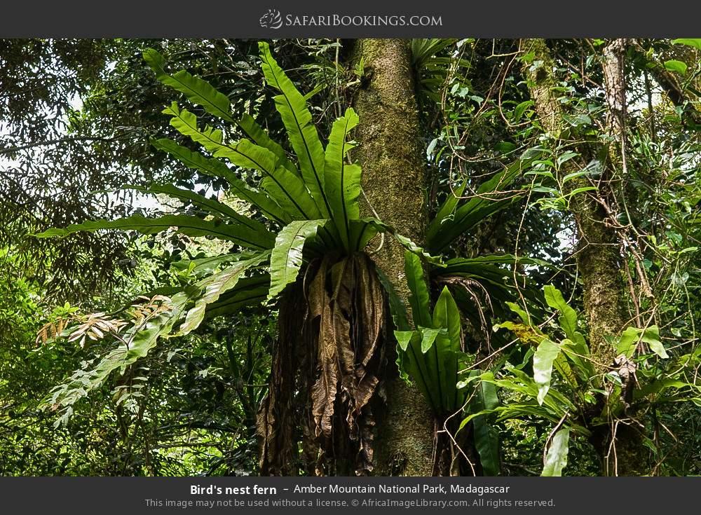Bird's nest fern in Amber Mountain National Park, Madagascar
