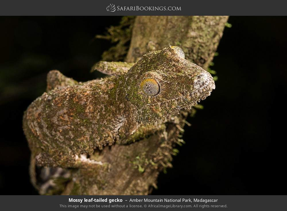 Mossy leaf-tailed gecko in Amber Mountain National Park, Madagascar
