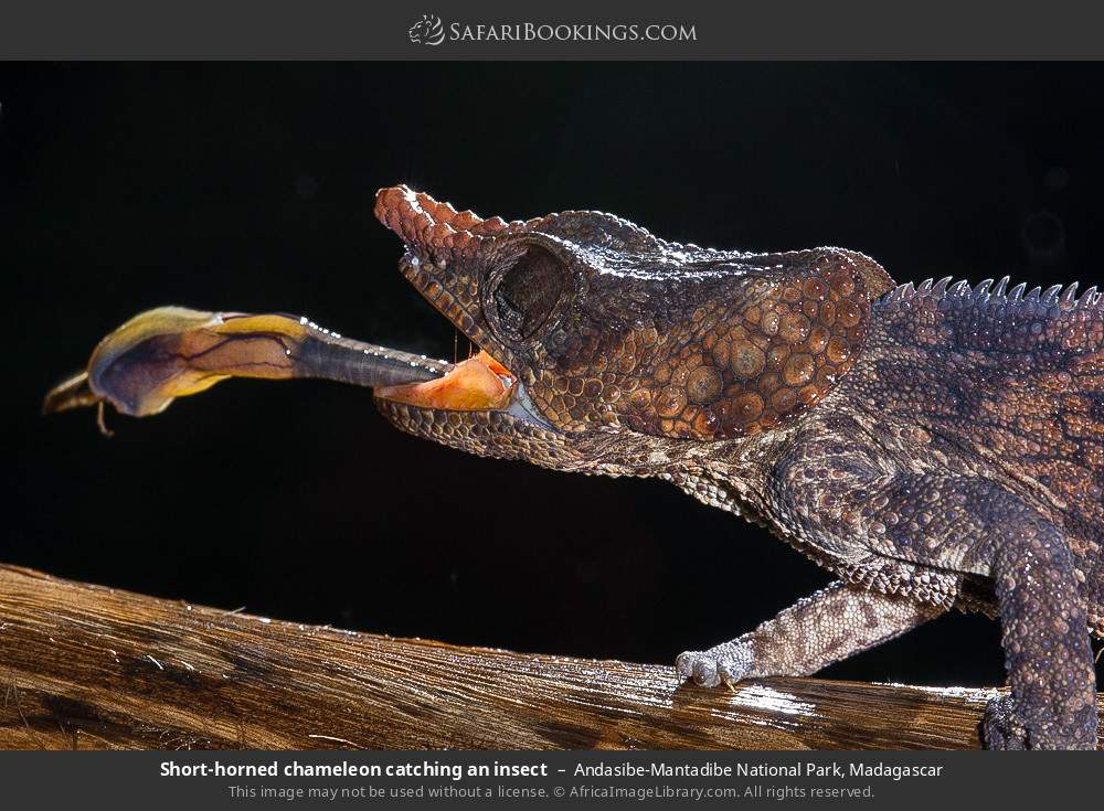 Short-horned chameleon catching an insect in Andasibe-Mantadibe National Park, Madagascar