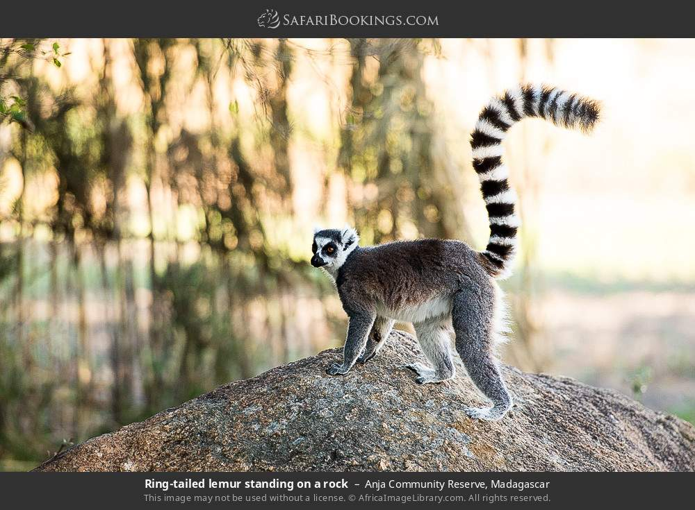 Ring-tailed lemur standing on a rock in Anja Community Reserve, Madagascar