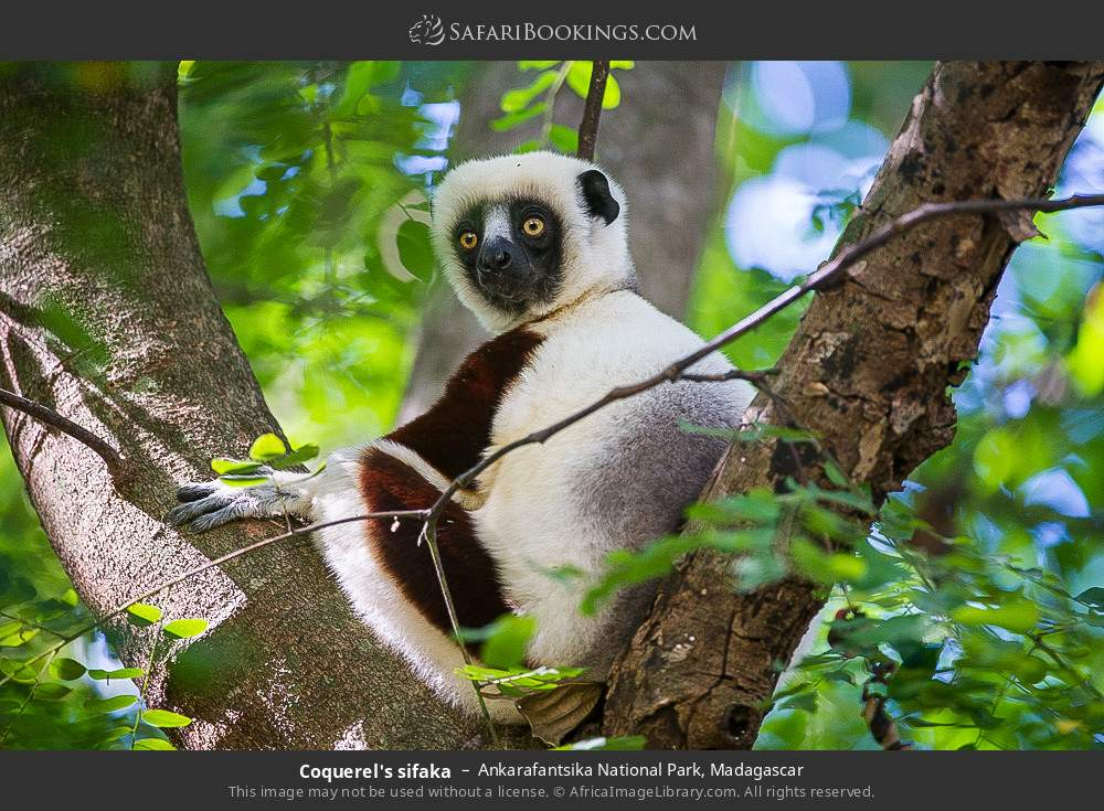 Coquerel's sifaka in Ankarafantsika National Park, Madagascar