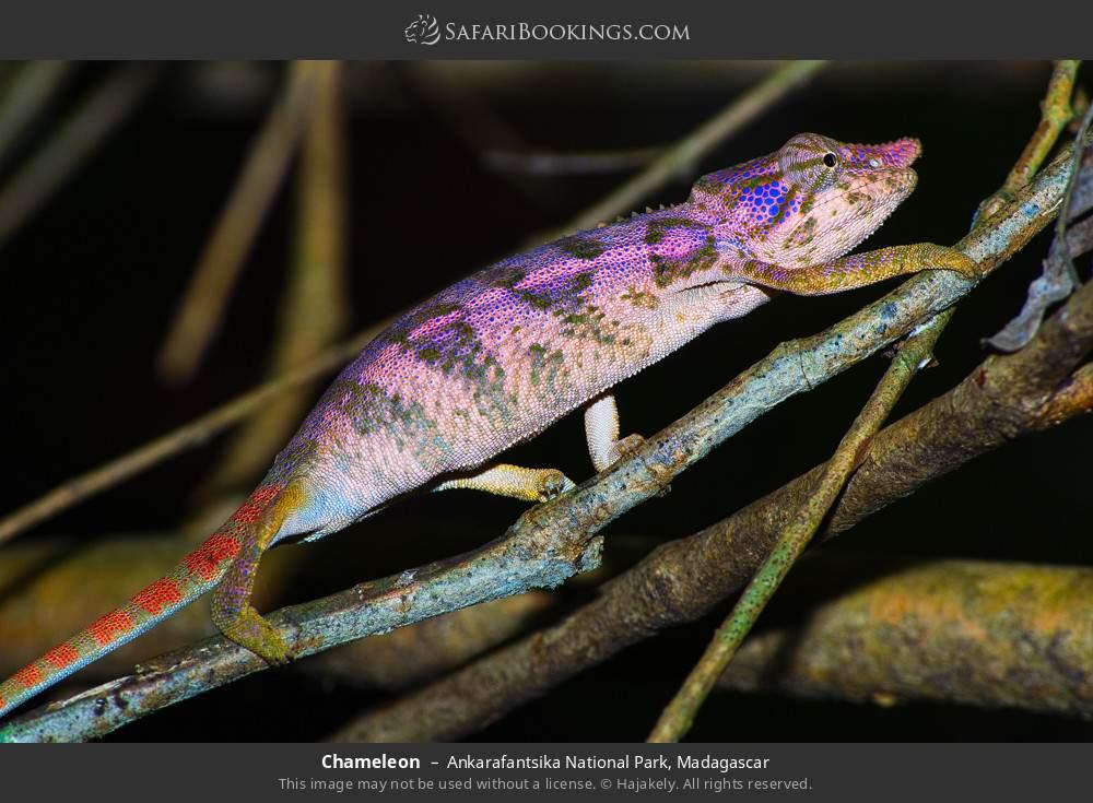 Chameleon in Ankarafantsika National Park, Madagascar
