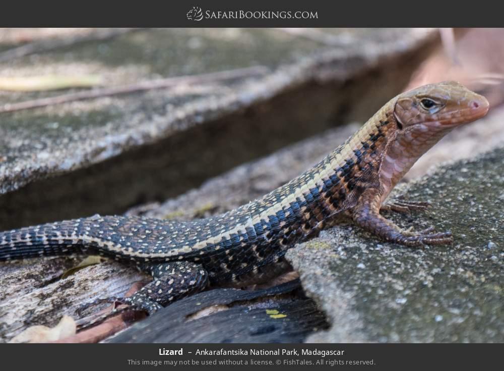 Lizard in Ankarafantsika National Park, Madagascar