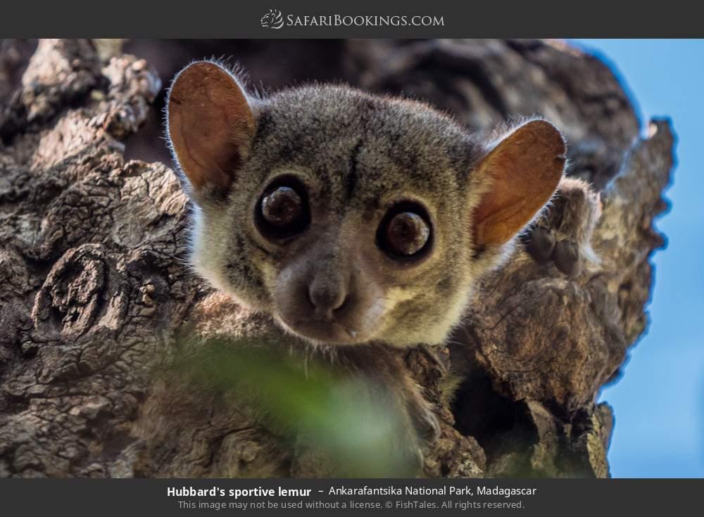 Hubbard's sportive Lemur in Ankarafantsika National Park, Madagascar