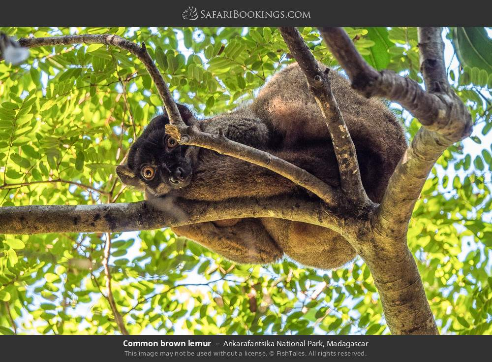 Common brown lemur in Ankarafantsika National Park, Madagascar
