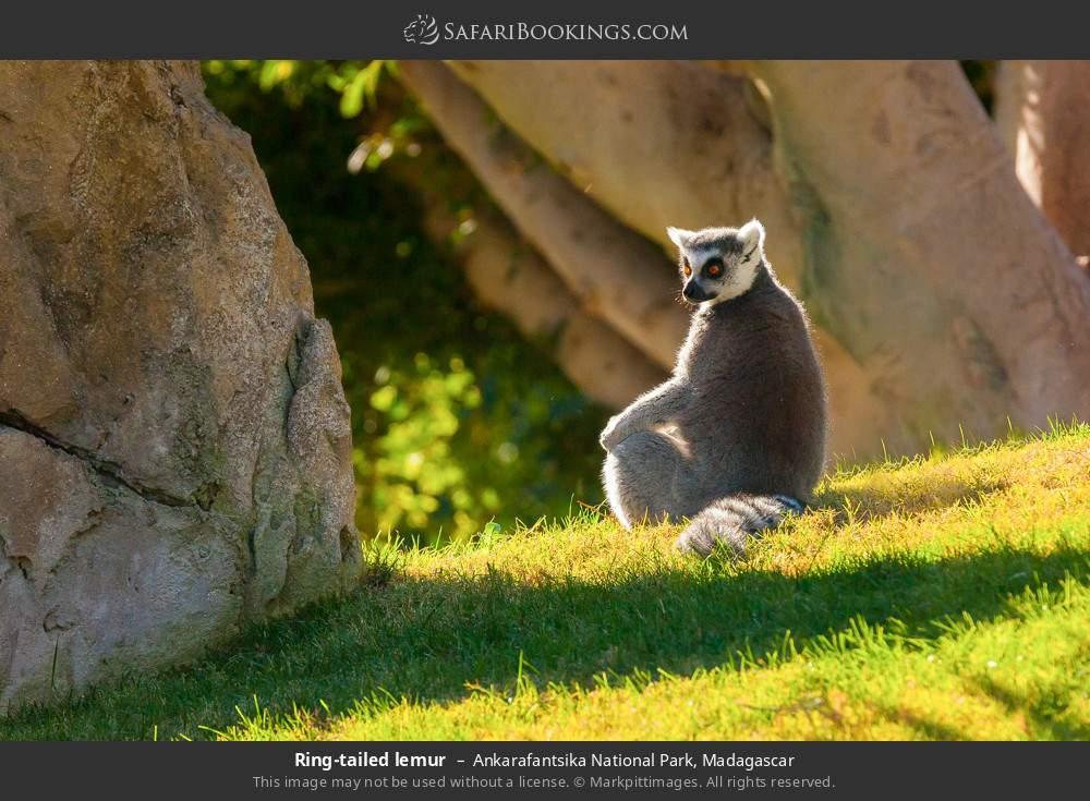 Ring-tailed lemur in Ankarafantsika National Park, Madagascar
