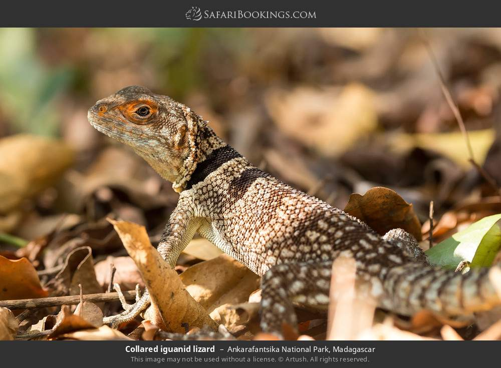 Collared iguanid lizard in Ankarafantsika National Park, Madagascar