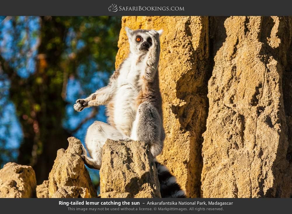 Ring-tailed lemur catching the sun in Ankarafantsika National Park, Madagascar