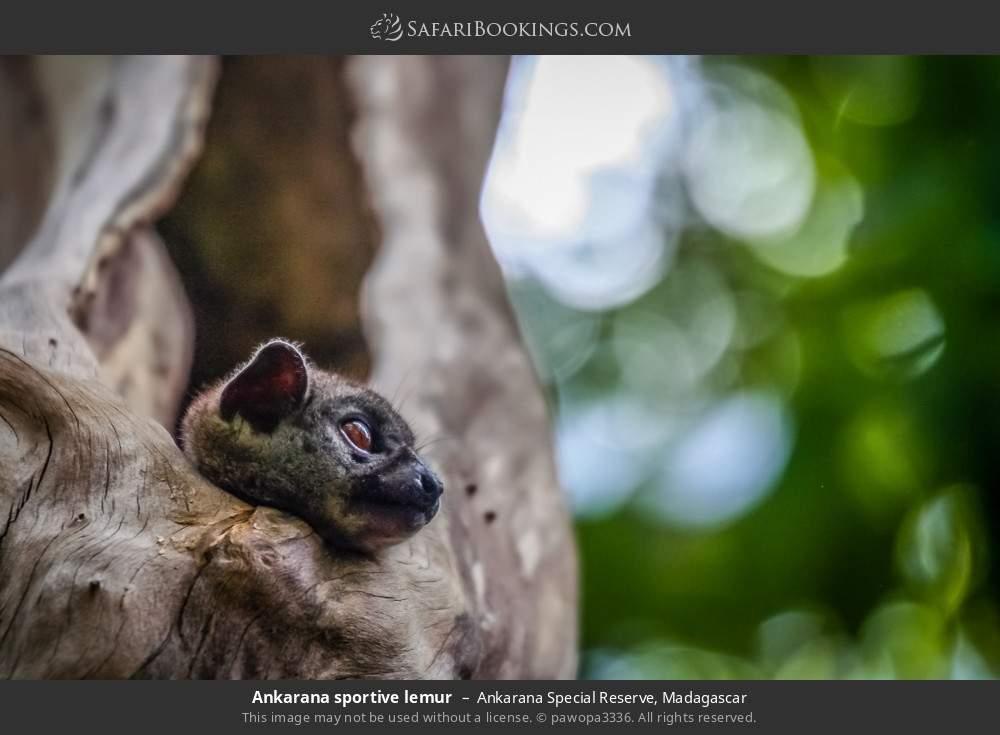 Ankarana sportive lemur in Ankarana Special Reserve, Madagascar