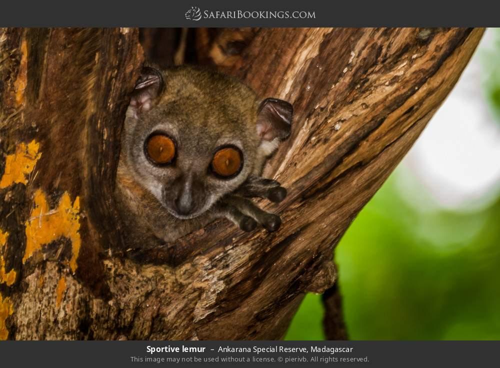 Sportive lemur in Ankarana Special Reserve, Madagascar