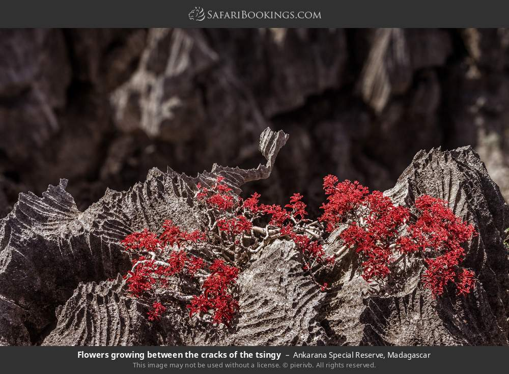 Flowers growing between the cracks of the tsingy in Ankarana Special Reserve, Madagascar