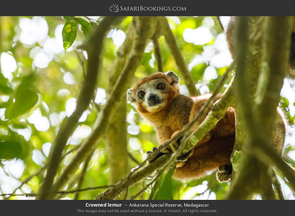 Crowned lemur in Ankarana Special Reserve, Madagascar