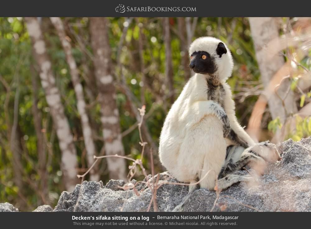 Decken's sifaka sitting on a log in Bemaraha National Park, Madagascar