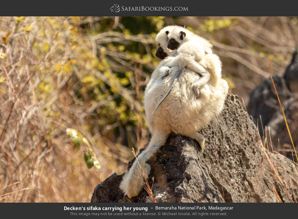 Decken's sifaka carrying her young in Bemaraha National Park, Madagascar