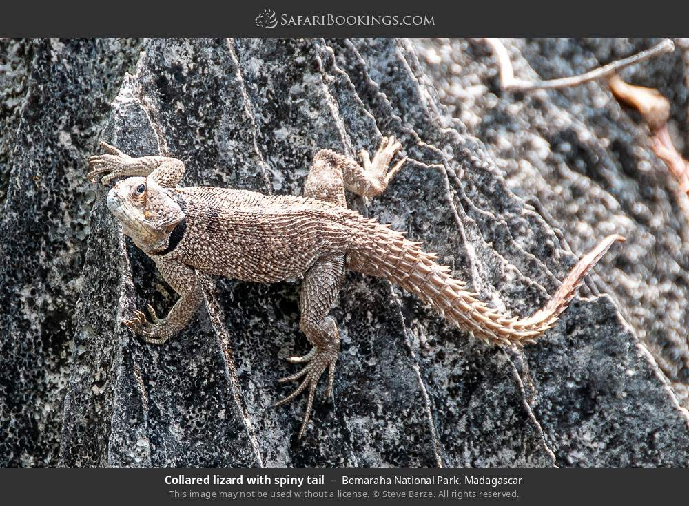 Collared lizard with spiny tail in Bemaraha National Park, Madagascar
