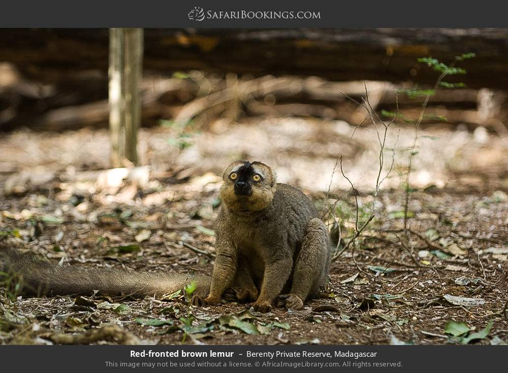 Red fronted brown lemur in Berenty Private Reserve, Madagascar